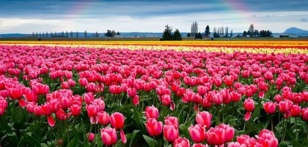 Алея із тюльпанів